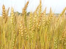 المغرب ترفع بحدة التعريفة الجمركية على واردات القمح اللين